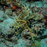 Karibische Acropora Cervicornis Koralle