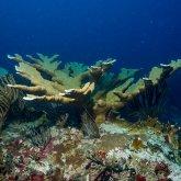 Karibische Elkhorn A. Palmata Koralle